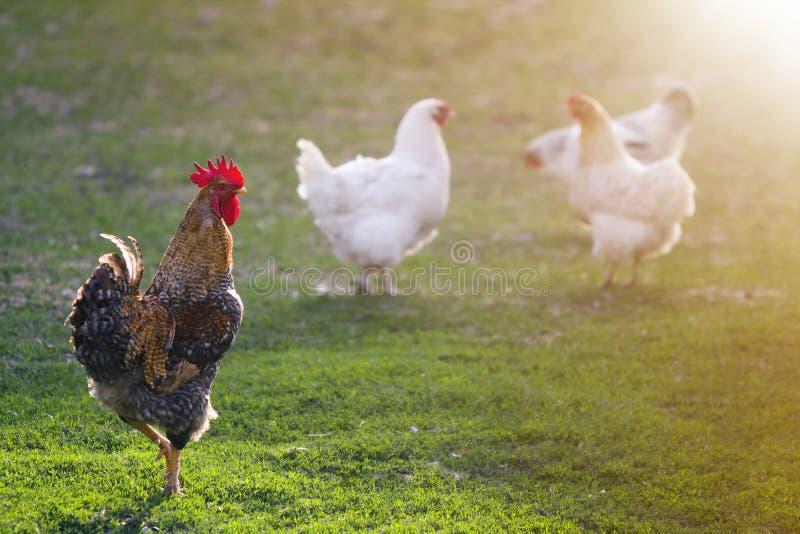 Grupo de gallinas blancas sanas crecidas y de gallo marrón grande que alimentan en primera hierba verde fresca afuera en campo de fotos de archivo libres de regalías