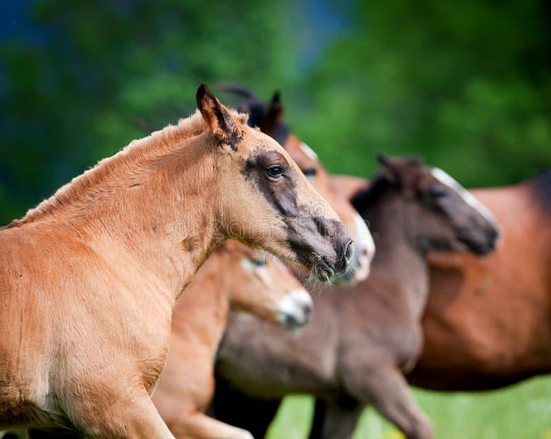 Grupo de galope dos funcionamentos dos cavalos no campo fotos de stock royalty free