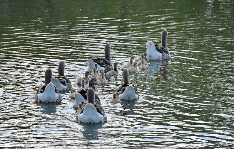 Grupo de ganso en el lago imagen de archivo libre de regalías