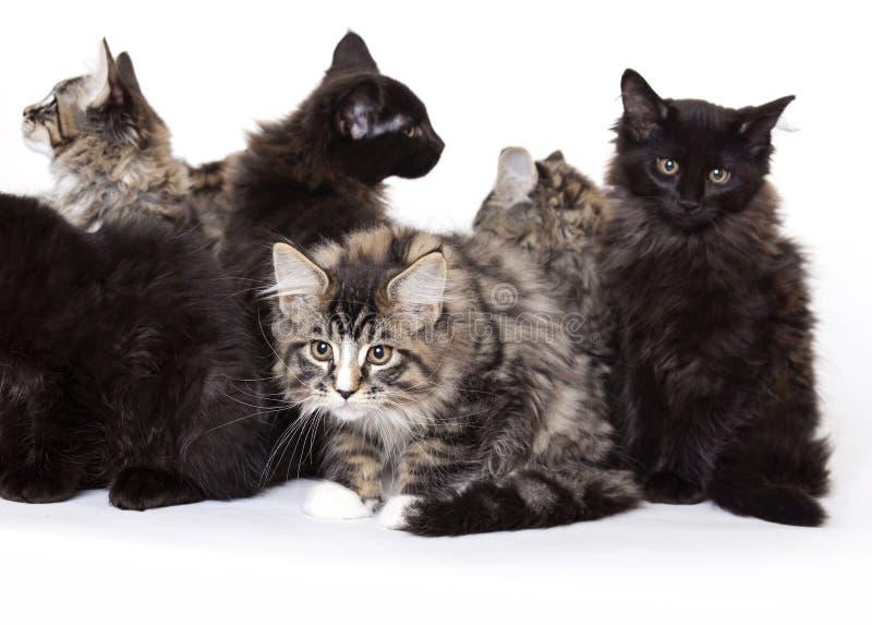 Grupo de gatitos hermosos del Coon de Maine foto de archivo libre de regalías