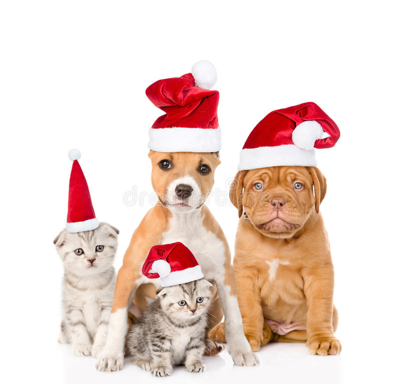 Grupo de gatos e de cães em chapéus vermelhos do Natal Isolado no branco fotografia de stock