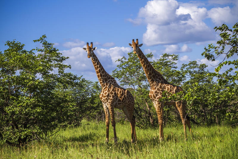 Grupo de girafas no arbusto no parque de Kruger, África do Sul fotografia de stock royalty free