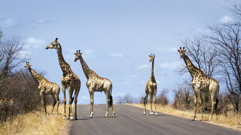 grupo de girafas no parque nacional de Kruger, na estrada, África do Sul fotos de stock royalty free