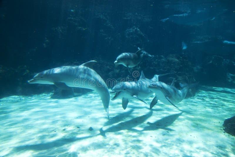 Grupo de golfinhos sob a água imagens de stock