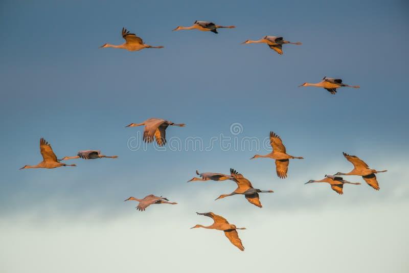 Grupo de grúas del sandhill en vuelo en la oscuridad/la puesta del sol de la 'hora de oro 'antes de aterrizar al gallinero para l foto de archivo