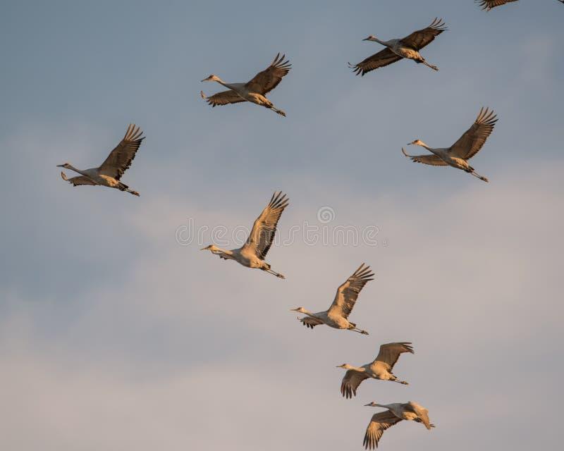 Grupo de grúas del sandhill en vuelo en la oscuridad/la puesta del sol de la 'hora de oro 'antes de aterrizar al gallinero para l fotografía de archivo