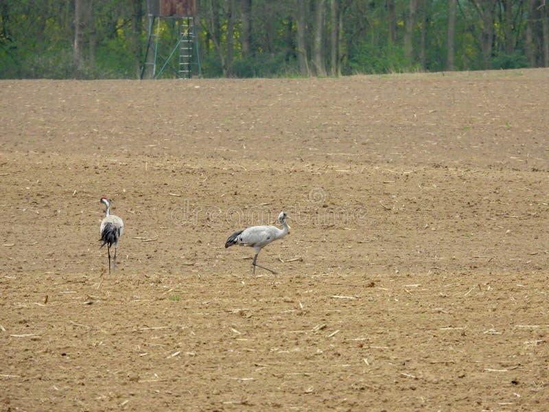 grupo de grúas que buscan la comida en un campo arado imagenes de archivo