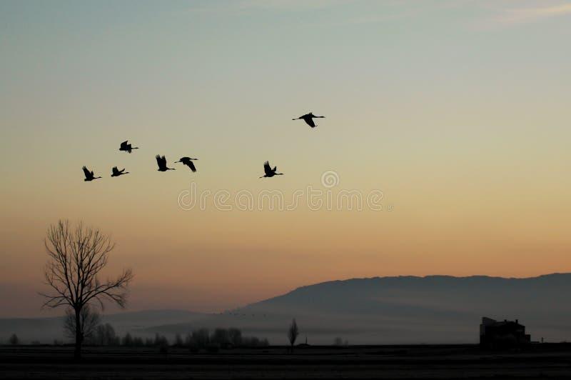 Grupo de grúas que vuelan en la puesta del sol en contraluz sobre un valle congelado fotografía de archivo