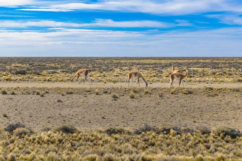 Grupo de Guanacos na paisagem do Patagonia, Argentina fotografia de stock royalty free
