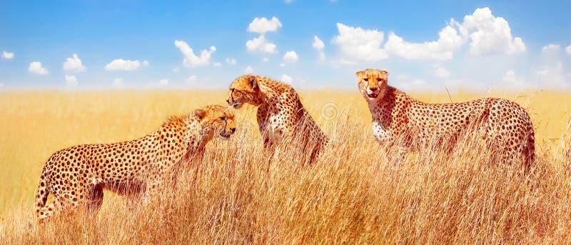 Grupo de guepardos en la sabana africana África, Tanzania, parque nacional de Serengeti imagen de archivo