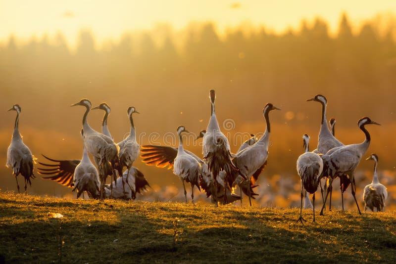 Grupo de guindastes no nascer do sol na luz da manhã fotografia de stock royalty free
