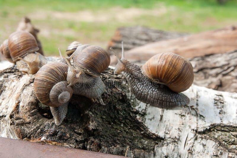 Grupo de hélice grande de los caracoles de Borgoña, caracol romano, caracol comestible, imagen de archivo libre de regalías