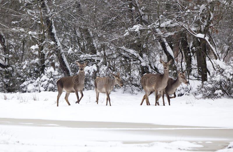 Grupo de hinds na fêmea dos veados vermelhos da neve fotografia de stock