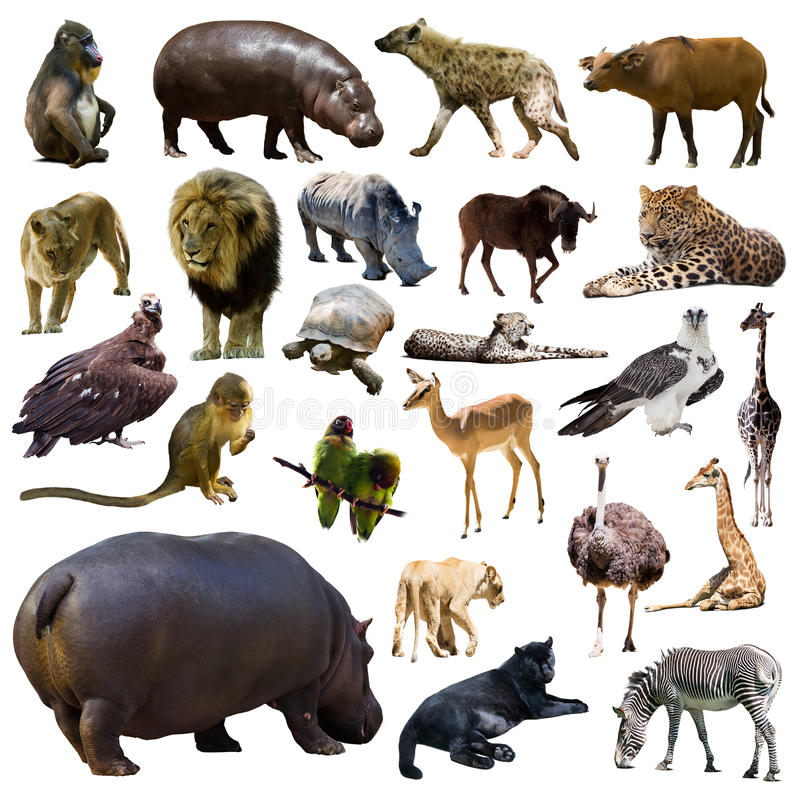 Grupo de hipopótamo e de outros animais africanos Isolado fotos de stock