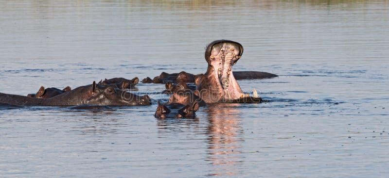 Grupo de hipopótamos no rio de Linyanti, Namíbia fotografia de stock royalty free