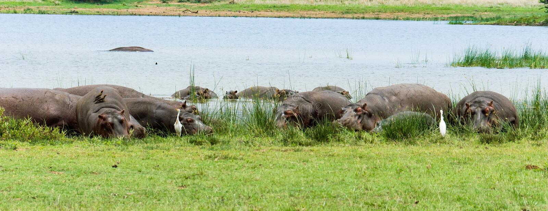 Grupo de hipopótamos que encontram-se na terra fotografia de stock
