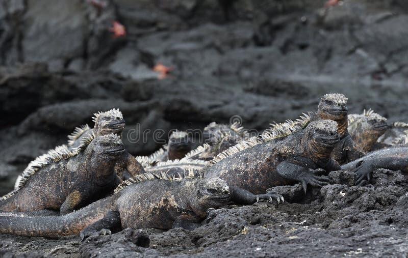 Grupo de iguana marina en las islas de las Islas Galápagos imagenes de archivo