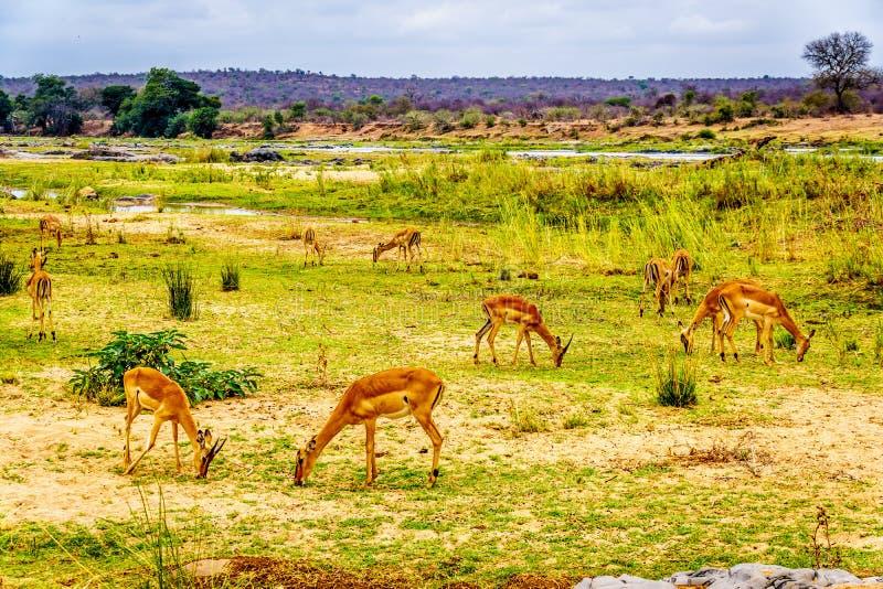 Grupo de impalas que pastan a lo largo del río de Olifant imagen de archivo libre de regalías