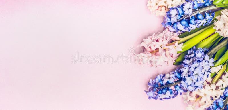 Grupo de jacintos frescos do jardim em pálido - fundo cor-de-rosa, vista superior, horizontal imagem de stock royalty free