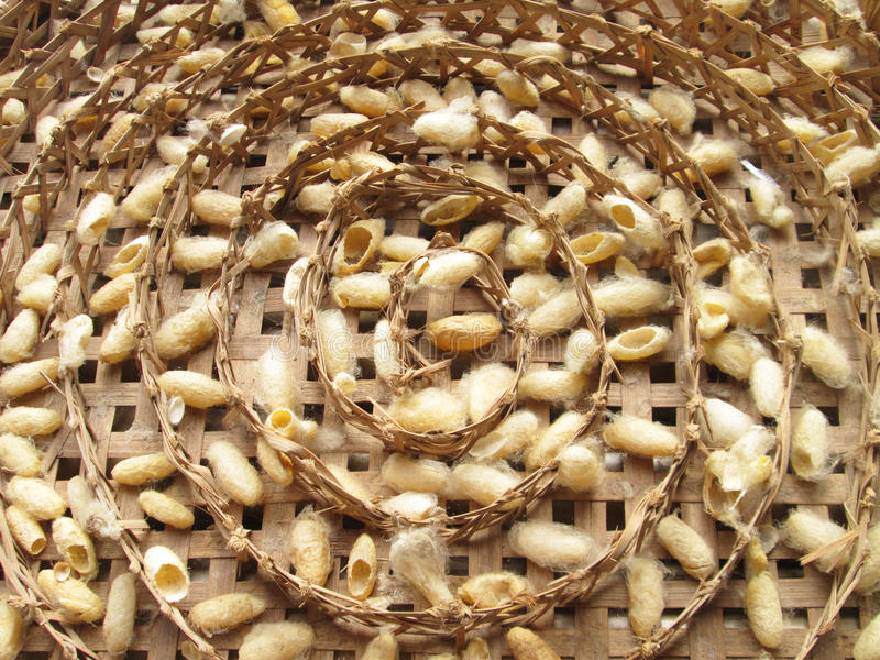 Grupo de jerarquías de los capullos del gusano de seda imágenes de archivo libres de regalías