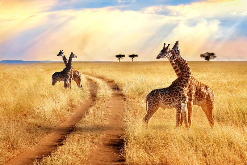 Grupo de jirafas cerca del camino en el parque nacional de Serengeti Fondo de la puesta del sol foto de archivo