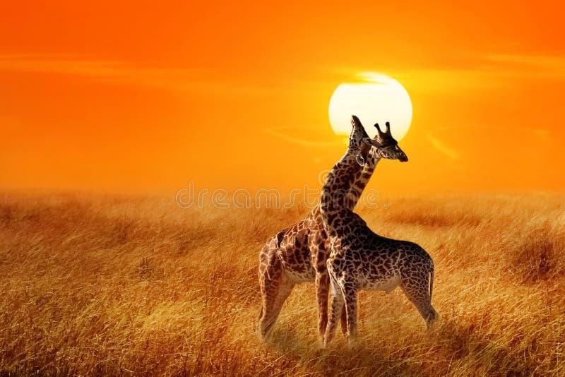 Grupo de jirafas contra puesta del sol en el parque nacional de Serengeti África imagen de archivo