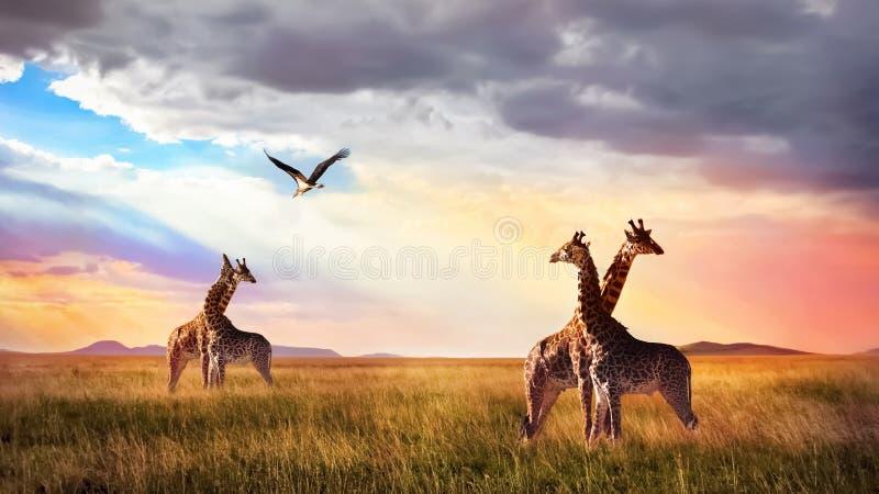 Grupo de jirafas y de pájaro en el parque nacional de Serengeti Puesta del sol Cloudscape Vida salvaje africana imagenes de archivo