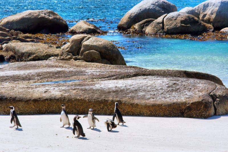Grupo de jogos dos pinguins na praia fotos de stock royalty free