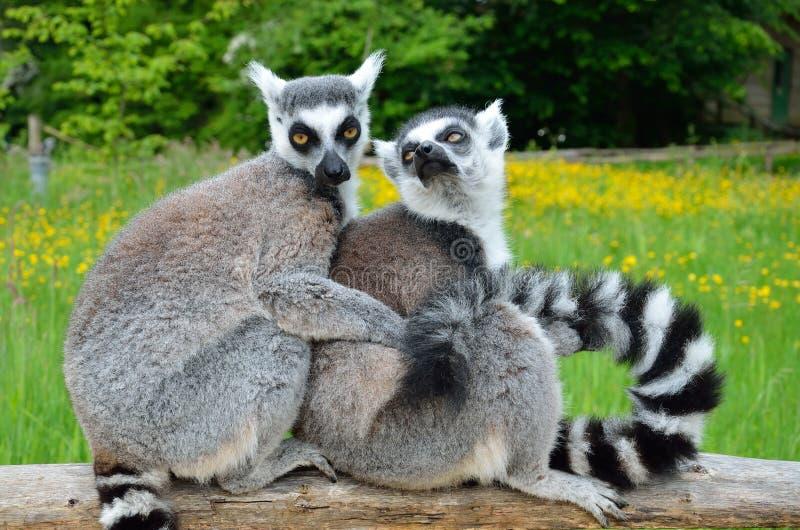 Grupo de lémures al aire libre imagen de archivo