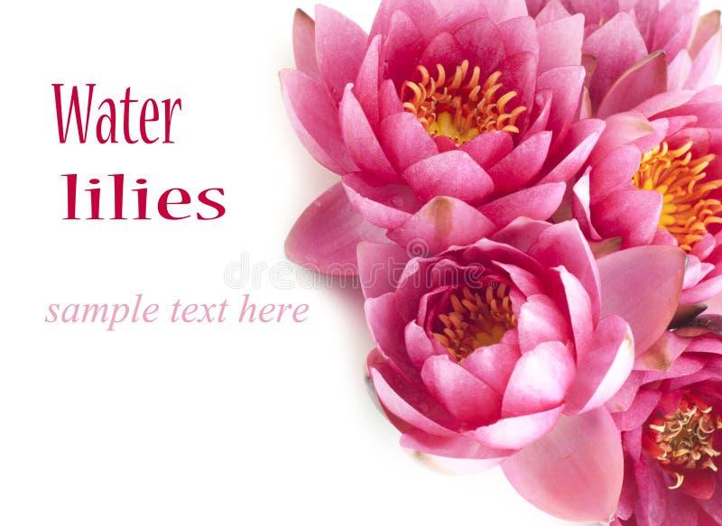 Grupo de lírios de água cor-de-rosa fotografia de stock