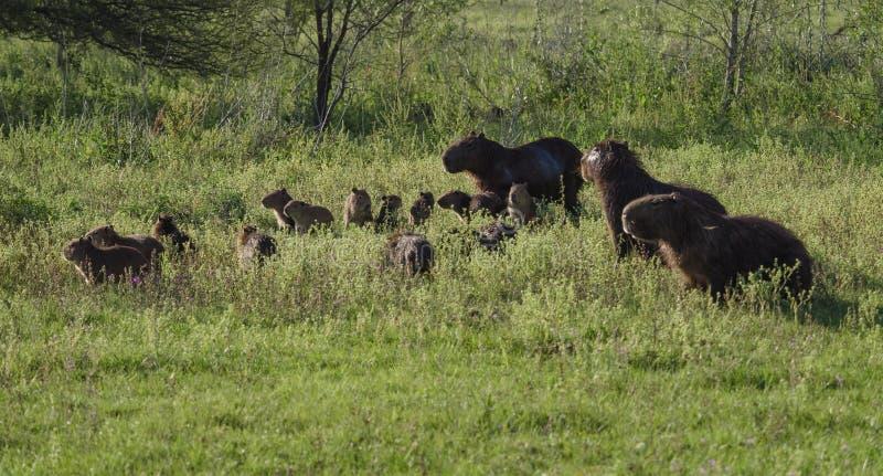 Grupo de la familia del Capybara, el roedor más grande fotografía de archivo
