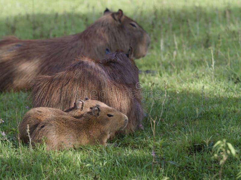 Grupo de la familia del Capybara, el roedor más grande imagenes de archivo