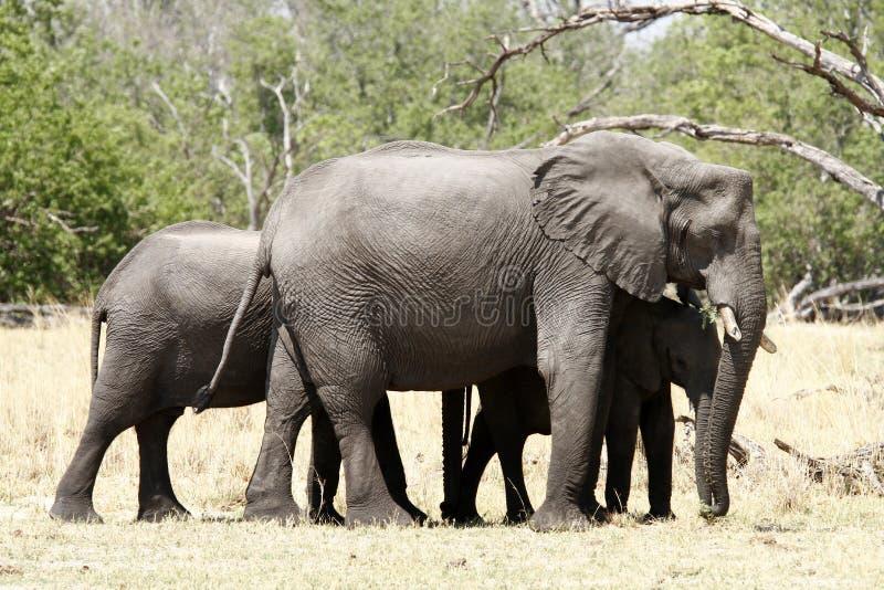 Grupo de la familia del elefante imagenes de archivo