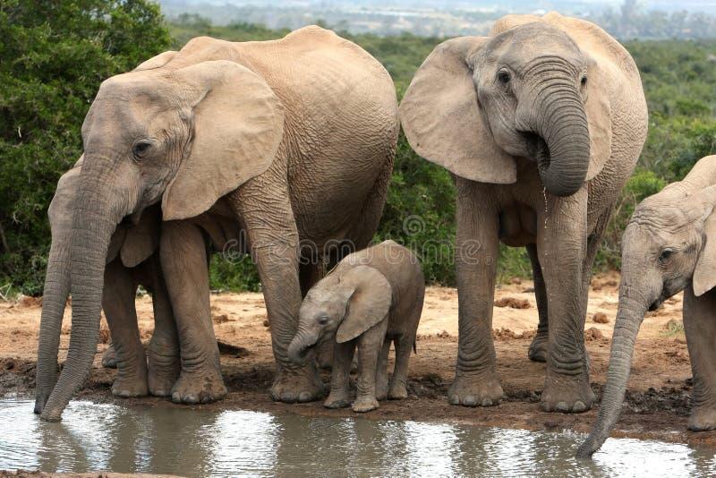 Grupo de la familia del elefante africano fotografía de archivo