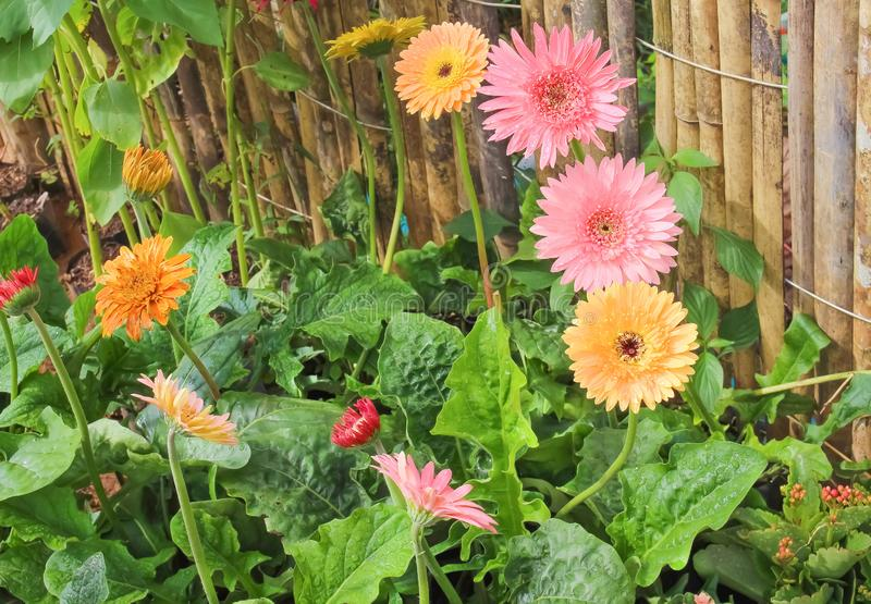 Grupo de la flor del gerbera de la visión superior o de la margarita de barberton que florece con descensos del agua en fondo del fotos de archivo