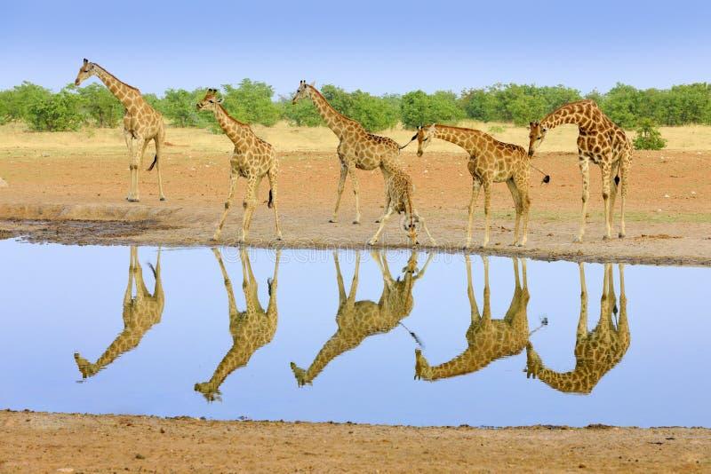 Grupo de la jirafa cerca del agujero de agua, reflexión de espejo en el agua inmóvil, Etosha NP, Namibia, África Mucha jirafa en fotografía de archivo libre de regalías