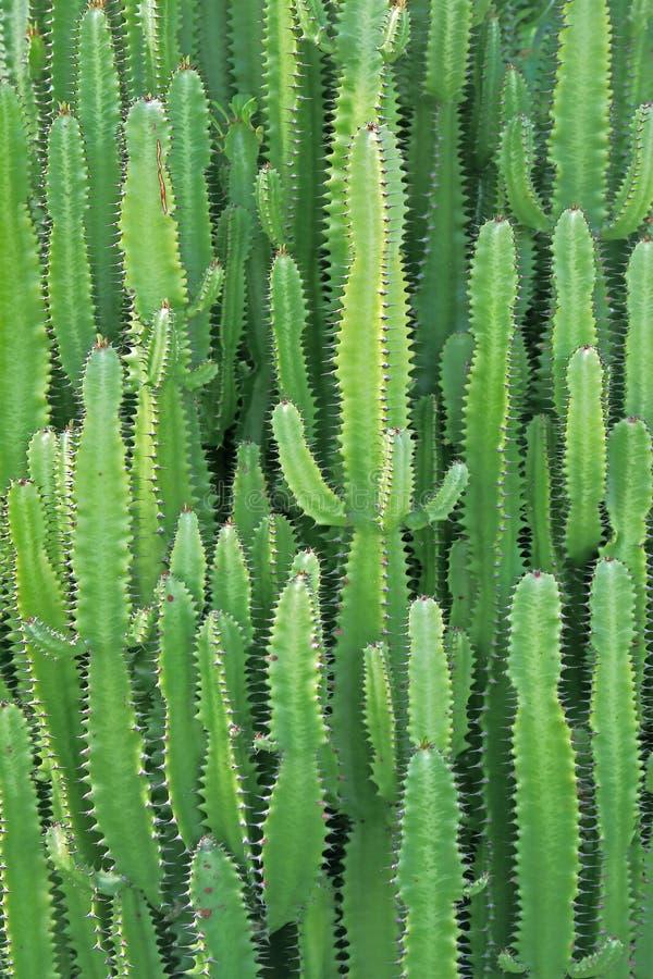 Grupo de la planta del cactus de las centrales térmicas Crecimiento en el desierto fotos de archivo