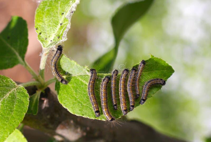 Grupo de lagartas em uma folha da árvore de maçã imagem de stock royalty free