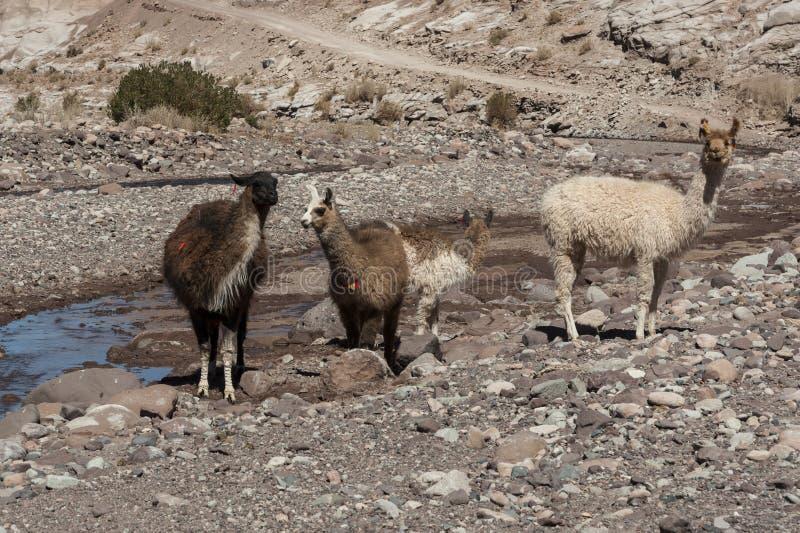 Grupo de lamas para o vale Valle Arcoiris do arco-íris, no deserto de Atacama no Chile fotos de stock royalty free