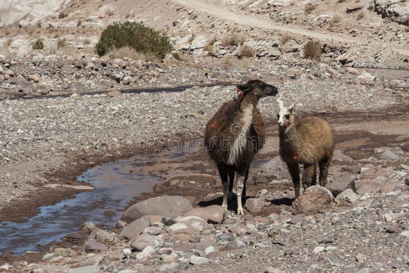 Grupo de lamas para o vale Valle Arcoiris do arco-íris, no deserto de Atacama no Chile fotografia de stock royalty free