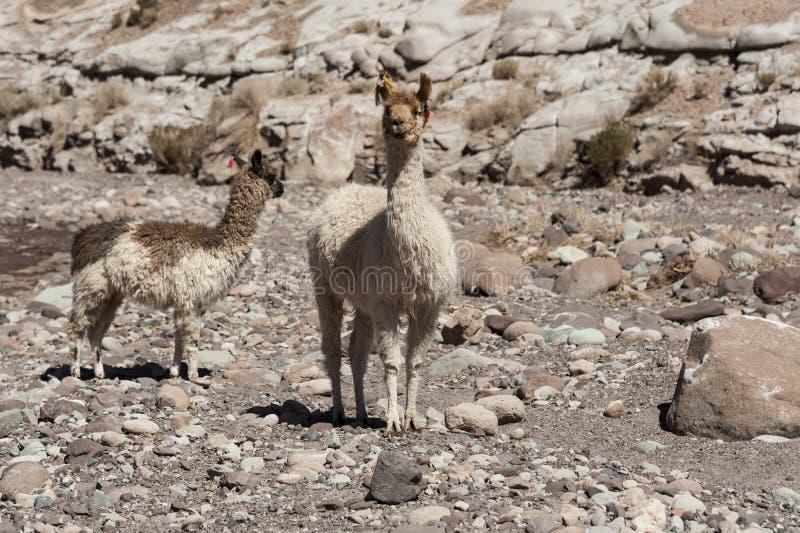 Grupo de lamas para o vale Valle Arcoiris do arco-íris, no deserto de Atacama no Chile foto de stock royalty free