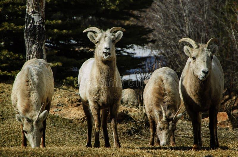 Grupo de las ovejas de Bighorn imágenes de archivo libres de regalías