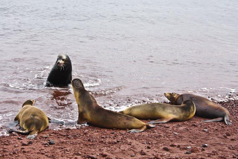Grupo de leones de mar de las Islas Gal3apagos imagen de archivo