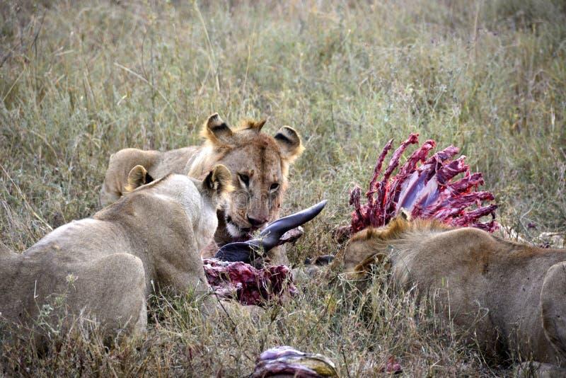 Grupo de leones jovenes que comen el antílope en el ambiente natural imagen de archivo libre de regalías