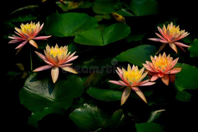Grupo de lirios de agua asiáticos vibrantes en la plena floración imagen de archivo libre de regalías