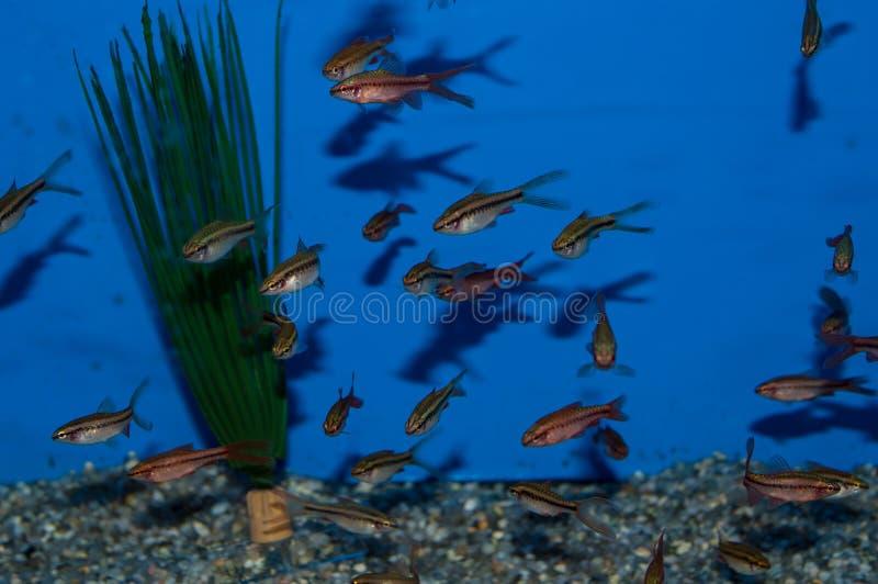 Grupo de Longfin Cherry Barbs foto de archivo