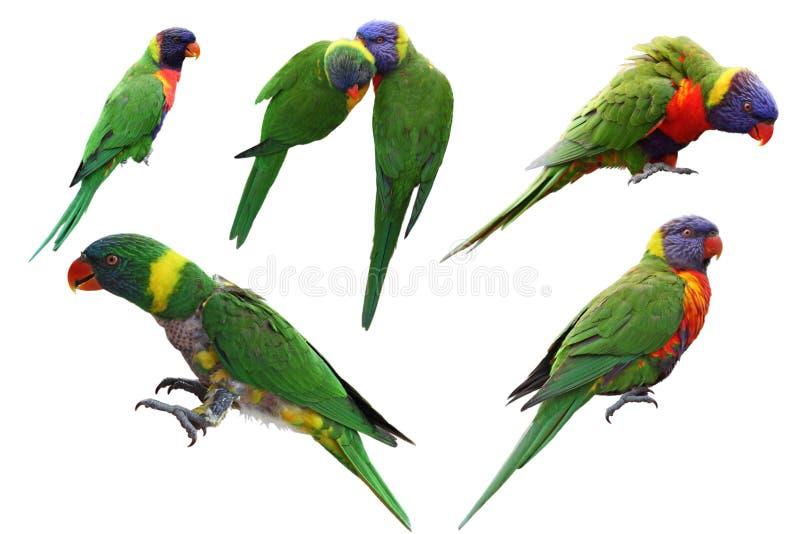 Grupo de Lorikeet do arco-íris imagem de stock