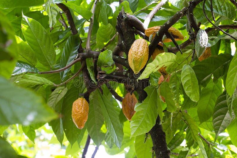 Grupo de los granos de cacao maduros y crudos, cacao del Theobroma en un árbol en la isla Bali, Indonesia imagenes de archivo