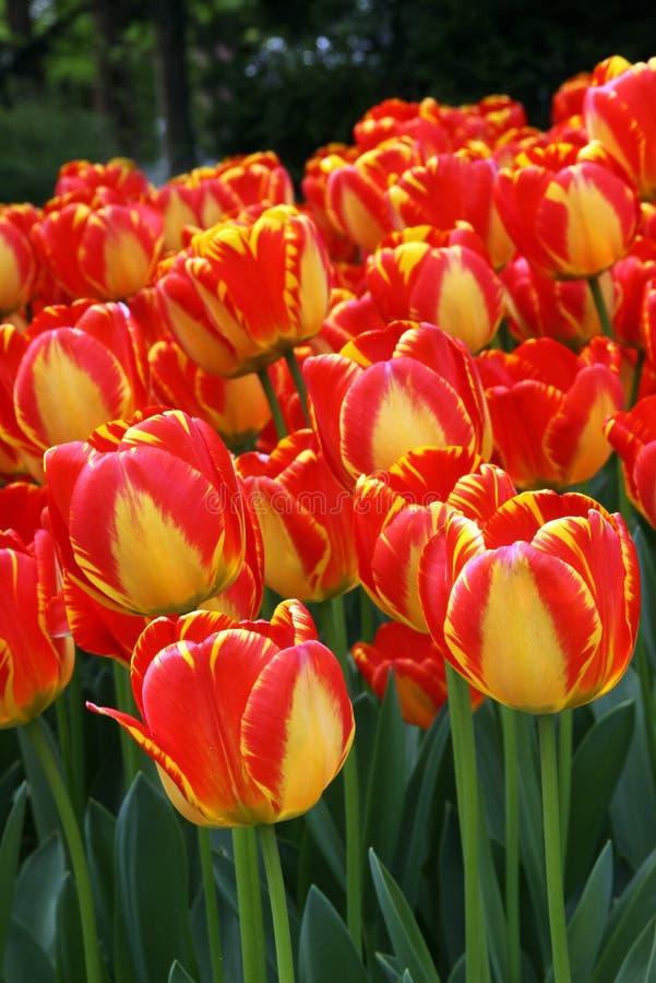 Grupo de los tulis del color del fuego imagen de archivo libre de regalías