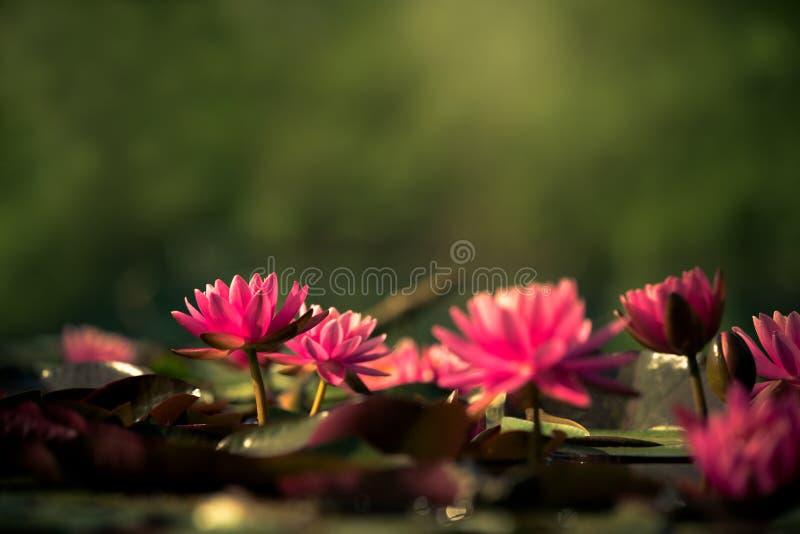 Grupo de loto rosado en la charca el color mágico de la salida del sol fotografía de archivo
